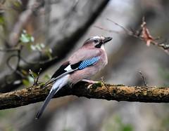 Jay Silverdale RSPB F00323 D210bob  DSC_9150 (D210bob) Tags: jay silverdale rspb f00323 d210bob dsc9150 nikon200500f56 nikond7200 birdphotography birdphotos naturephotography naturephotos nikon wildlifephotography leightonmoss