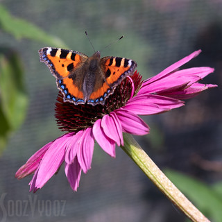 Small Tortoiseshell on Echinacea