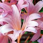 "Cincinnati – Spring Grove Cemetery & Arboretum ""Pink Lily"" thumbnail"