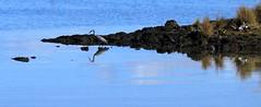 IMG_9135.crop (christineNZ2017) Tags: ambury regional park amburypark birdsanctuary birdlife bird sanctuary southauckland auckland newzealand winter