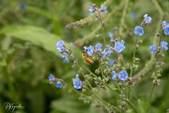 6R0A5541.jpg (pka78-2) Tags: flower summer green blue bee finland åbo southwestfinland fi