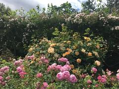 David Austen Roses