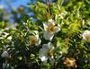 dog rose-5270251 (E.........'s Diary) Tags: eddie ross olympus omd em5 mark ii spring 2018 rosa dog rose behind fence