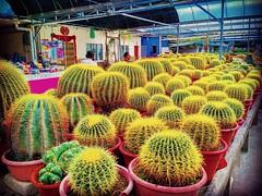 Cactus Point Brinchang, 39000 Brinchang, Pahang 011-1782 9384 https://goo.gl/maps/2r8ZPgy3vu22  #仙人掌 #金马仑 #CameronHighland #cactus #Kaktus #кактус  #صبار  #선인장 #サボテン #travel #holiday #traveling #trip #Asian #Malaysia #旅行 #度假 #亞洲 #馬來西亞 #วันหยุด #การเดินทาง (soonlung81) Tags: サボテン trip cameronhighland วันหยุด kaktus путешествие malaysia 휴일 garden 馬來西亞 旅行 صبار 여행 asian кактус 仙人掌 度假 traveling cactus 金马仑 ホリデー การเดินทาง праздник holiday ต้นกระบองเพชร 선인장 travelmalaysia 亞洲 travel