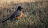 IMG_1713 (jimmy.stewart40) Tags: bird robin americanrobin beak profile wildlife wildbird orange grass green