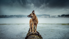 The Grimm 25/52/2018 Low Tide (Kate McLellan) Tags: 52weeksfordogs malinois pacificnorthwest pnw washington portorchard