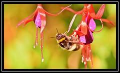 """Bee Line..."" (NikonShutterBug1) Tags: nikond7100 tokina100mm bee insect entomology nature wildlife bokeh spe smartphotoeditor closeup macro flower flora fauna sundaylights"