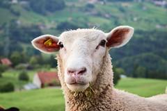 18717599 (OlivierVanIsle) Tags: sheep animals animal speicher appenzell switzerland nikon nikondigital nikond3300 nikonswitzerland d3300 stgallen ausserrhoden appenzellausserrhoden nature tree trees farm farmanimal farmanimals schweizerische dof depthoffield