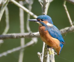 Kingfisher (Male) (1 of 3) - Taken at Barnwell Country Park, Nr. Oundle, Northants. UK (Ian J Hicks) Tags: