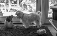 Bunny meets a T-Rex! (Dotsy McCurly) Tags: nikond850 dino dinosaur trex figure bunny cute white puppy dog mallets livingroom yard nj newjersey blackandwhite monotone bw 7dwf