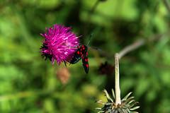 fantastic voyage (ralfdaenicke) Tags: nature natur pflanzen plants flowers blumen insekten insekts falter widderchen moth pentax k3 tirol berwang österreich