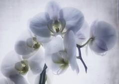 Tender - blur (G.Billon) Tags: flowers cameraphone gbillon feeling tender iphone blur