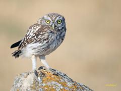 Mochuelo europeo (Athene noctua) (13) (eb3alfmiguel) Tags: aves pájaros rapaces nocturnas strigiformes strigidae mochuelo europeo athene noctua pájaro animal