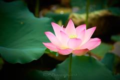 荷花池 03 (C & R Driver-Burgess) Tags: lotus flower bloom blossom pink floating emerge open single bud finished furled leaf water pool
