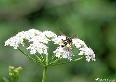 Guêpe sur fleur de Berce (jean-daniel david) Tags: fleur guêpe berce bokeh réservenaturelle vert verdure blanc insecte insectevolant yverdonlesbains suisse suisseromande vaud closeup grosplan nature