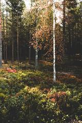 (Benedikt VII) Tags: sweden schweden nature natur baum birch birke sonne sonnenstrahlen sun sunlight sonyalphaa7 2870mm sel2870 wald wood forest vollformat fullframe