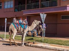 Camels at Australian Hotel Burke St Boulia Queensland P1030410z (john.robert_mcpherson) Tags: camels australian hotel burke st boulia queensland