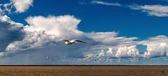 Möwe I (st.weber71) Tags: möwen vögel meer nikon natur nordsee tiere wolken wasser himmel wolkenstimmung wolkenbilder wolkenhimmel animals fliegen norddeich