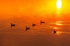 And Five Set Forth on Sun-Burned Seas (O.S. Fisher) Tags: antelopeisland greatsaltlake utah avians birds fowl golden island lake light nature orange outdoors red sun wateravocets waterfowl