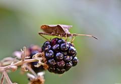 DSC_1602 (Stefania Bianco) Tags: colors nature macro detail insect raspberry mora plant summer trvael travelling animal fruit nikon reflex green