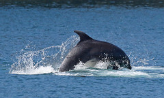 Dolphin (Treflyn) Tags: bottlenose dolphin feed cardigan bay coast mwnt ceredigion wales