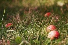 fallen apples in grass [explored] (Ola 竜) Tags: apples red fruits fallen apple rotten fruit green grass bokeh manualfocus meyeropticgoerlitztelemegor fujifilmxt10 dof soapbubblebokeh plants ripeaples warmtones sunny shadowplay vintagelens telemegor180mmf55