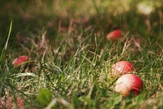 fallen apples in grass [explored]