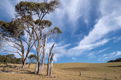 Afternoon gum trees (OzzRod) Tags: pentax k1 hdpentaxdfa1530mmf28 landscape skyscape trees eucalypts paddock fence kangaroos cirrus clouds bungabeach nswfarsouthcoast