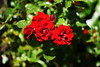 DSC_0392 (PeaTJay) Tags: nikond750 sigma reading lowerearley berkshire macro micro closeups gardens outdoors nature flora fauna plants flowers rose roses rosebuds