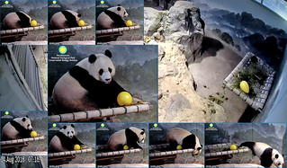 Bei Bei (Yum! I crack open my yellow egg and find a honey yolk. It was delicious! Hold on–my yellow egg still whole. Darn, I only dreamin.' Hope my yellow crate's outside cuz I be cravin' honey.) 2018-08-14 at 7.12.53–18.47 AM