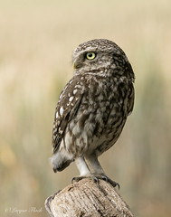 Little owl (larysaflack) Tags: birds wildlife owl little