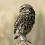 Little owl thumbnail