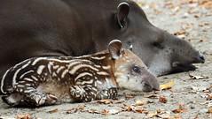 South american tapir Artis JN6A1596 (j.a.kok) Tags: tapir southamerica southamericantapir zuidamerika zuidamerikaansetapir animal artis mammal zoogdier dier herbivore babytapir