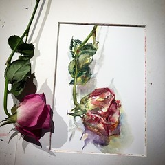 Day 1103. The #rose #painting for today. #watercolour #watercolourakolamble #sketching #stilllife #flower #art #fabrianoartistico #hotpress #paper #dailyproject (akolamble) Tags: rose painting watercolour watercolourakolamble sketching stilllife flower art fabrianoartistico hotpress paper dailyproject
