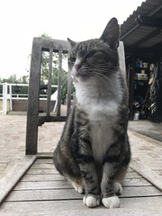 Cat at the stable (gill4kleuren - 17 ml views) Tags: pussy puss poes chat mieze katje gato gata gatto cat pet animal kitty kat pussycat