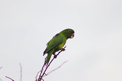 (Rodrigo Paganini) Tags: paisagem landscape ave pássaro bird maritaca árvore tree galhos verde green natureza nature animal animale canon eos rebel sl2 75300mm