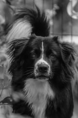 Rian Felipe 10 month old (unbunt.me) Tags: fujixpro2 bw fuji acros aussie blackandwhite hoffnungs blackwhite dog hund lrcc fujifilm australianshepherd