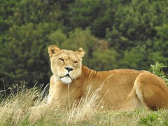 Lioness (Simply Sharon !) Tags: lioness lion bigcat preditor carnivour animal yorkshirewildlifepark