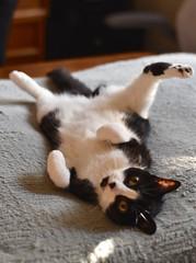 Tina (rootcrop54) Tags: tina tiny female tuxedo lol funny foot paw dogbed belly neko macska kedi 猫 kočka kissa γάτα köttur kucing gatto 고양이 kaķis katė katt katze katzen kot кошка mačka gatos maček kitteh chat ネコ cc100 cc700 cc1000
