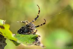 20130820_182754_Макро (Alexander Korovin) Tags: arachnid arachnida arachnids aranedae araneidae araneusangulatus closeup macro spiders крестовикугловатый макро макромир пауки паукикругопряды паукообразные