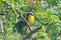 Common Yellowthroat 18-0512-7084 (digitalmarbles) Tags: commonyellowthroat yellowthroat warbler male yellow geothlypistrichas passeriformes parulidae branches tree leaves wood nature wildlife animal bird birder birdphoto photography birdphotography wildlifephotography reifel sanctuary reifelsanctuary deltabc bc lowermainland britishcolumbia canada canoneosrebelt7i canon