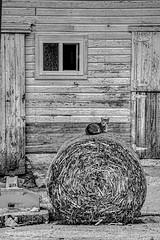 "On Hay ""Paw-trol"" (jackalope22) Tags: cat bw barn farm haybale bale hay kitty mouser"