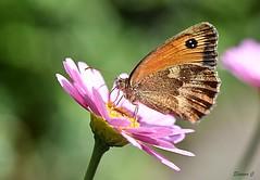 In the Pink (2) (Eleanor (No multiple invites please)) Tags: gatekeeperbutterfly marguerite garden stanmore uk nikond7200 105mmmacrolens july2018