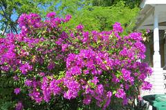 Key West (Florida) Trip 2017 7986Ri 4x6 (edgarandron - Busy!) Tags: florida keys floridakeys keywest houses neighborhood plants bougainvillea