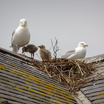 Herring-gull nest, 2018 Jun 08 -- photo 3 thumbnail