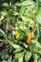 IMG_7919 (giddyup2002) Tags: grantsviewcommunitygarden grantsviewgarden communitygarden garden stlouis