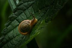 Snail On leaf - 080218-125216 (Glenn Anderson.) Tags: snail mollusc shelledgastropod macro closeup nikon outdoor forestfloor nature wood bokeh natural eyestalks waynesboroughpark shell foot forest
