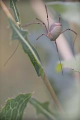 Big Daddy Long Legs (silver_ring) Tags: spider daddy long leg