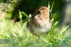 common snipe - gallinago gallinago (carlanthonytaylor) Tags: bird birds birding birdwatching nature ngc natural wildlife wild canon commonsnipe eccleshall staffordshire