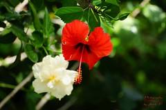 Hibiscus (Jurek.P) Tags: flowers flower kwiaty kwiat hibiscus nature natura jurekp sonya77 ogródbotaniczny botanical garden